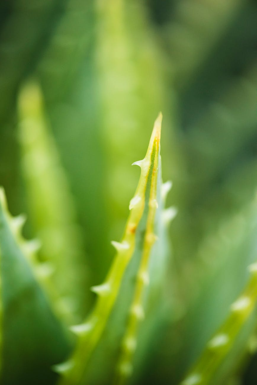 aloe vera blur cactus close up